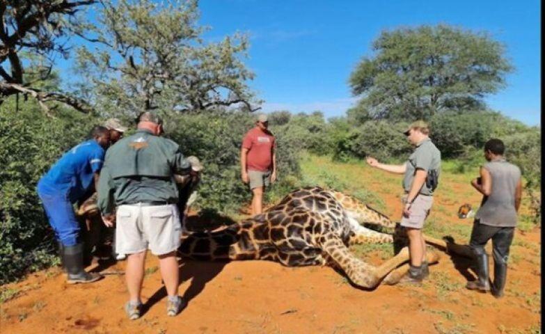 Охотница вырезала сердце жирафу и показала его в Сети