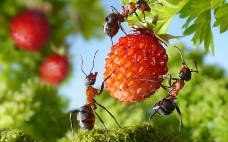 Как выдворить муравьев с участка подручными порошками