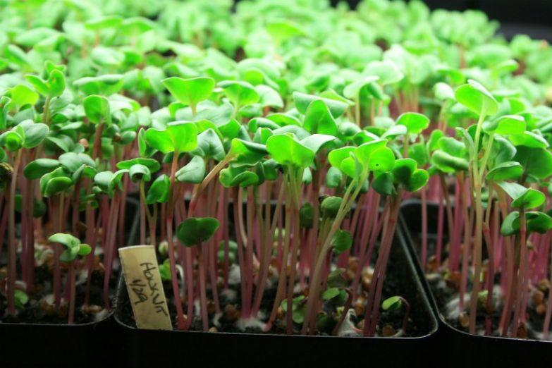полезная микрозелень