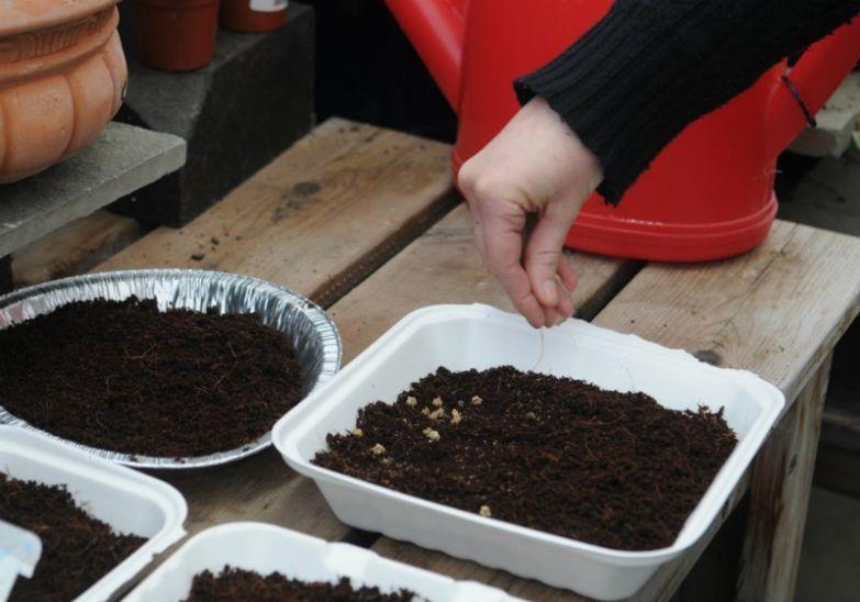 как посеять микрозелень