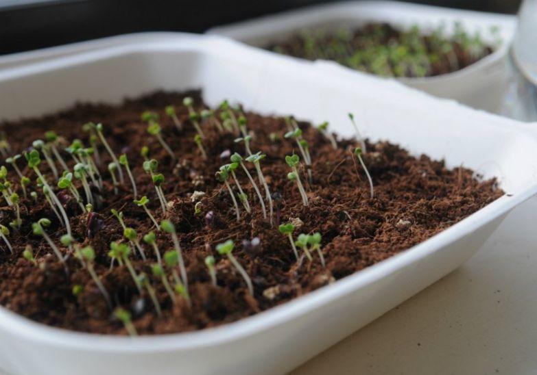 уход за микрозеленью
