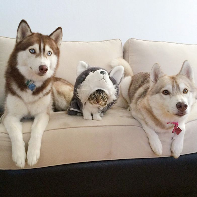 rosie-cat-grows-up-husky-mother-lilo-3