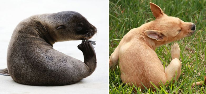 Seal Looks Like Dog