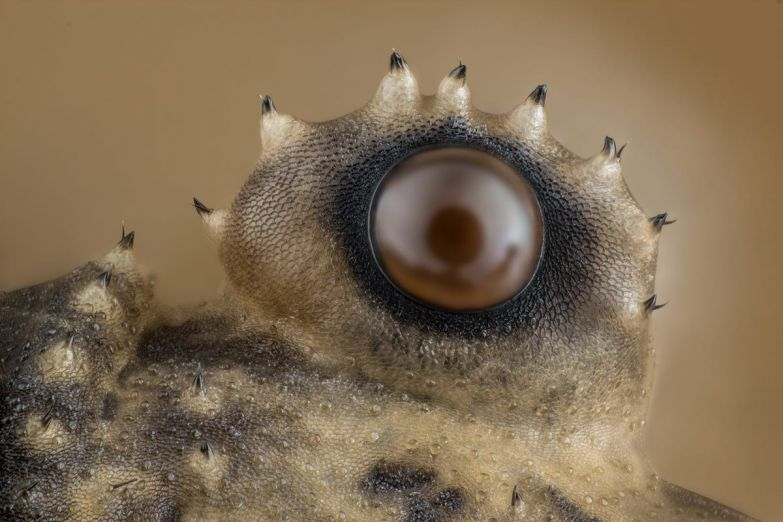 When you look at a daddy long-legs, these spiky eyes look back at you.
