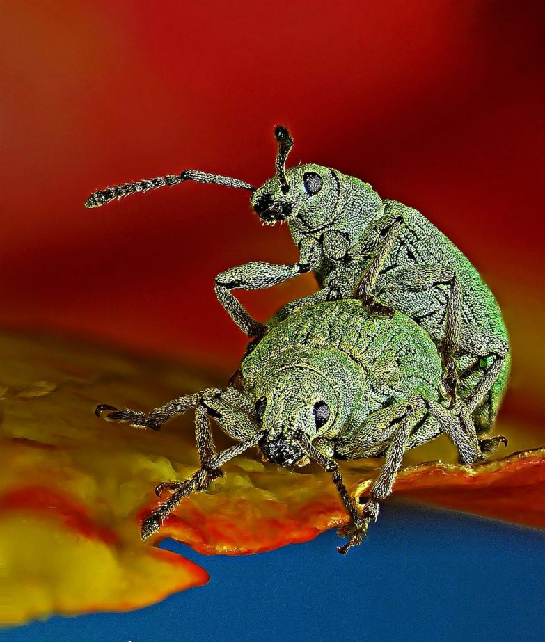 Two weevils work hard at passing on their genetic inheritance.