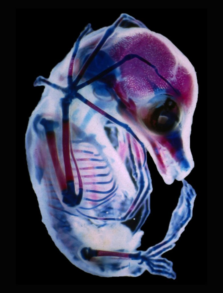 A bat fetus with see-through skin and bones.
