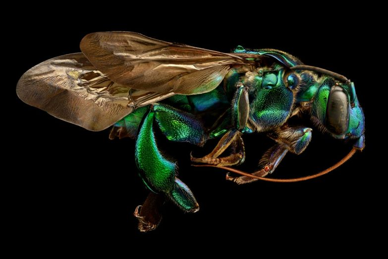 The exoskeletal armor of an orchid cuckoo bee shines like metal.