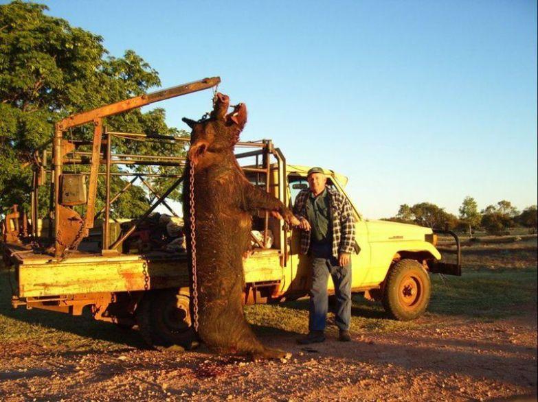 Австралийский фермер поймал кабана, который ел его собак охота, прикол, юмор