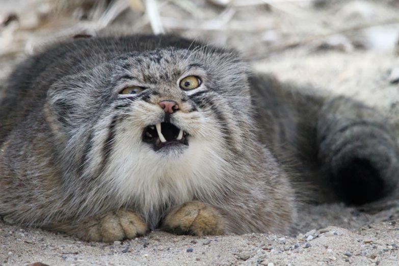 17 котов, о существовании которых знают не все животные, коты, породы