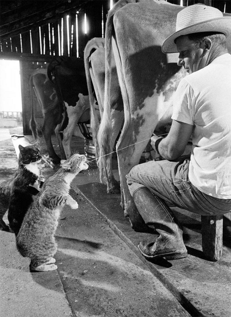 7. Брауни получает порцию молока, а Блэки ждет своей очереди, 1954 г. архивные фотографии, лучшие фото, ретрофото, черно-белые снимки