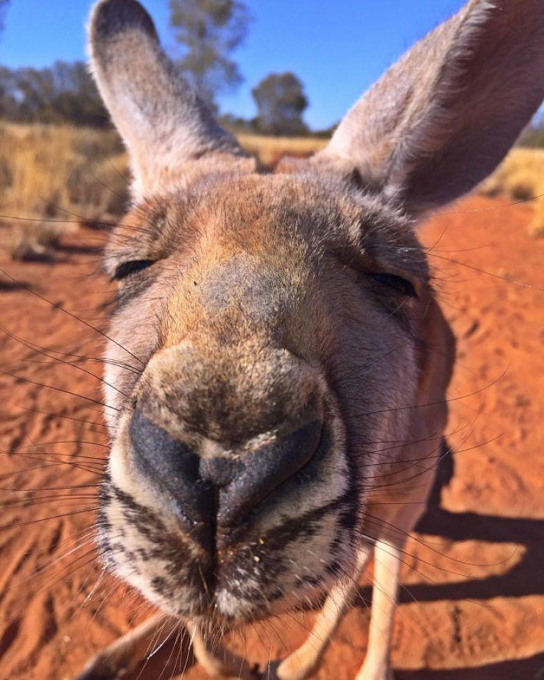 Вот они какие, кенгурячьи нежности! австралия, животные, кенгуру, обнимашки