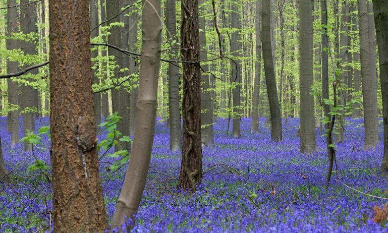 Ив Ложе. Тысячи колокольчиков зацвели в лесу возле Халле, в 15 км к югу от Брюсселя.