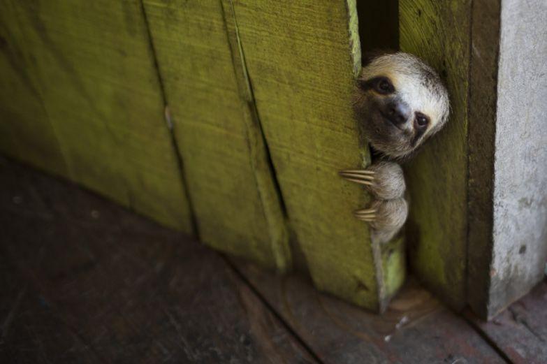 Фелипе Дана. Ленивец выглядывает из плавучего дома в Лаго до Джануари в Манаусе, Бразилия.
