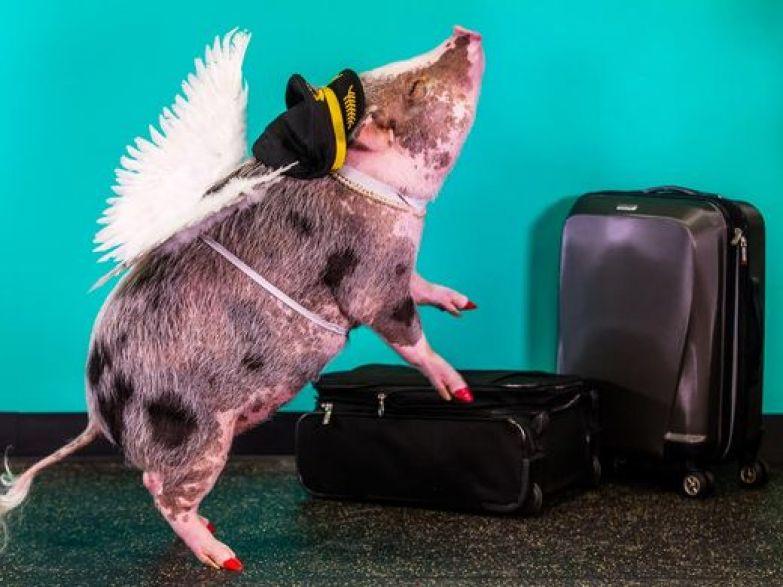 В Международном аэропорту Сан-Франциско поросенок будет встречать пассажиров - фото 5