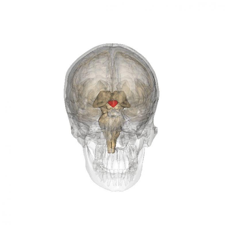Гипоталамус в мозге человека. (Фото: djr339 / Flickr.com.)