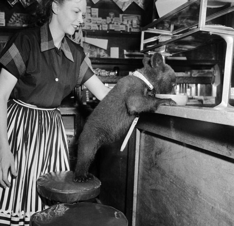 30. Медвежонок лакомится медом в кафе, 1950 г. архивные фотографии, лучшие фото, ретрофото, черно-белые снимки