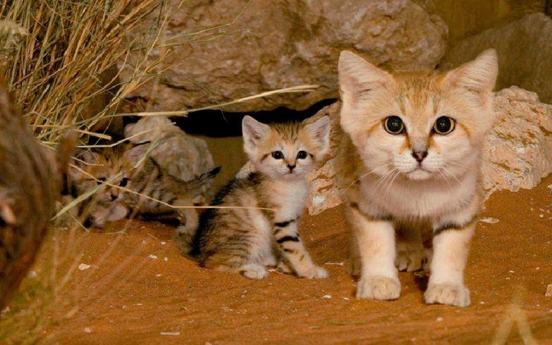 1. Песчаный или барханный кот животные, коты, породы