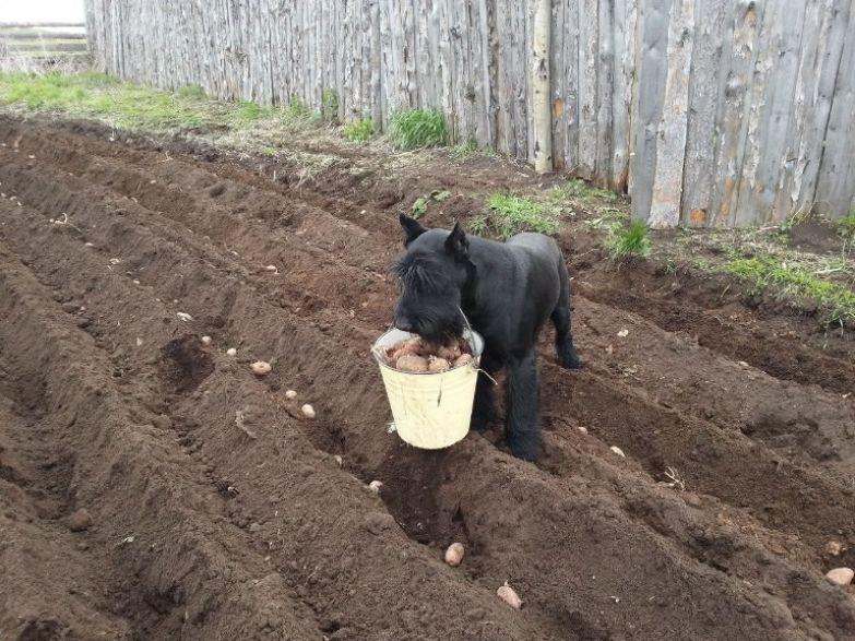 4. Все помогают сажать картошку, даже те, кто ее не ест дача, дачники, огородники, прикол, фото