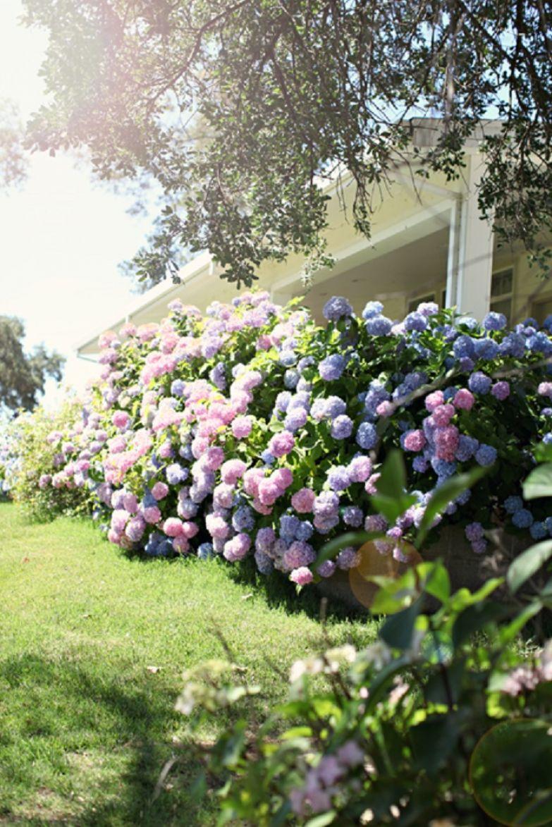 гортензия садовая обрезка