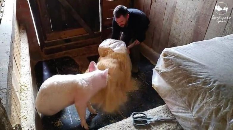 Когда их вскрыли, Патриция сунула любопытный пятачок в фонтан из опилок животные, милота, свиньи