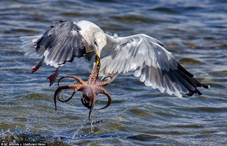 Голодная чайка атакует осьминога в мире, кадр, фотограф