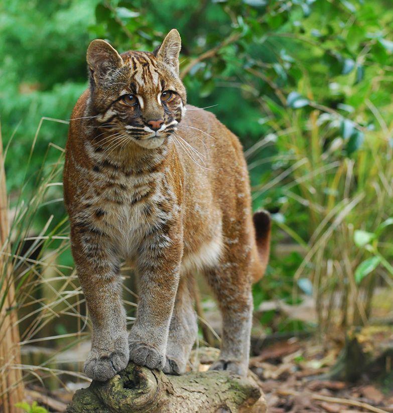 16. Азиатская кошка Темминка животные, коты, породы