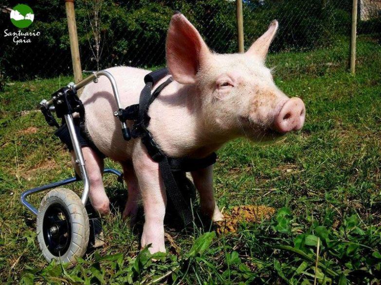 Именно такой была жизнь Патриции до того, как она попала в заповедник животные, милота, свиньи