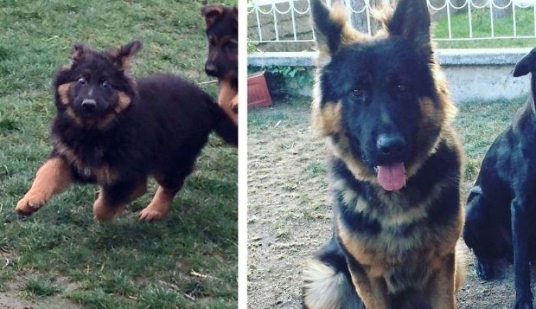 Атлас - 5 месяцев и 18 месяцев до и после, животные, любимцы, мило, питомцы, собаки, трогательно, фото