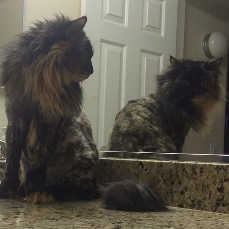 6. животные, котт, кошка, прическа, стрижка