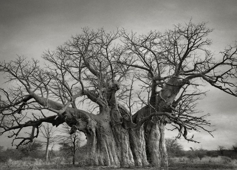 Древнее дерево Мексики.