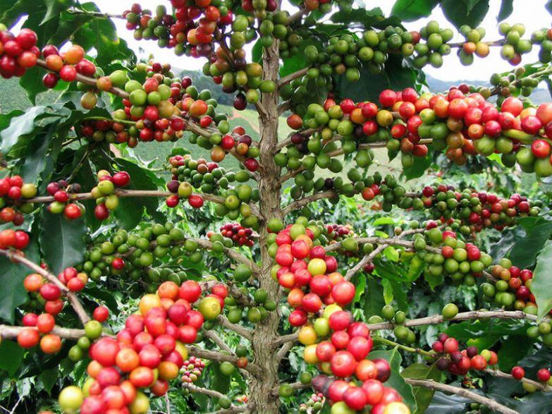 кофе на дереве фото