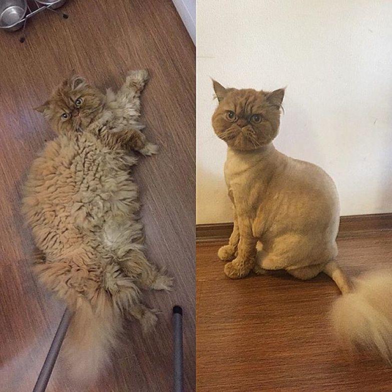 1. животные, котт, кошка, прическа, стрижка