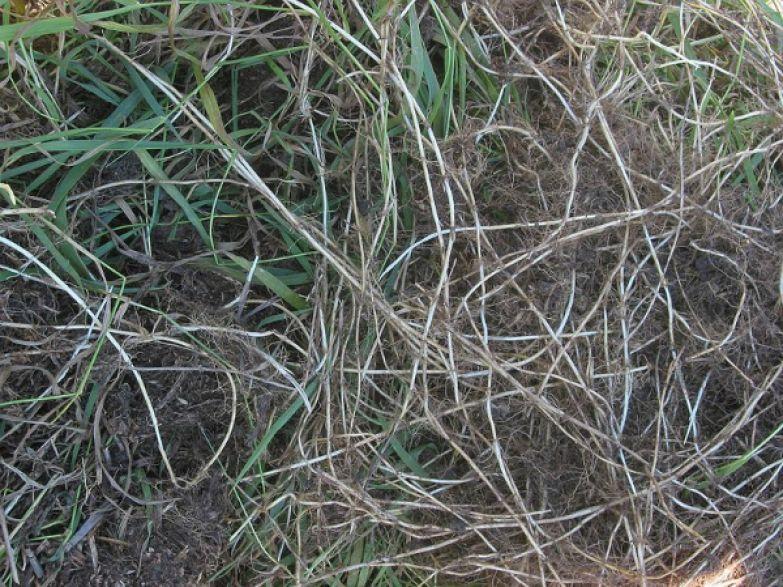 корень пырея ползучего
