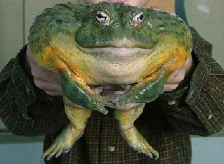 Жаба Бломберга
