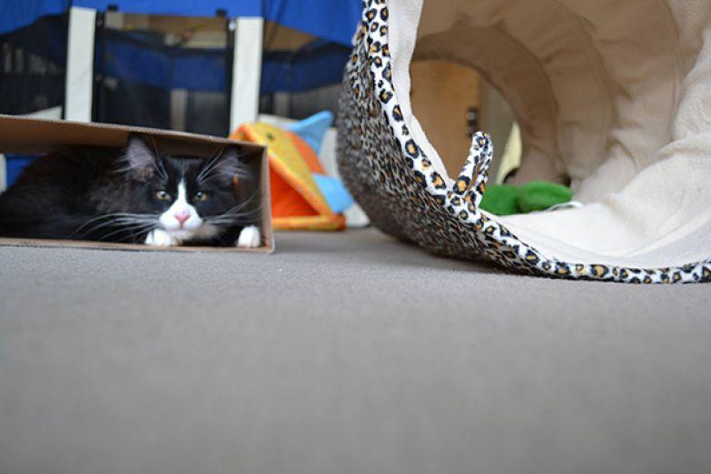 24. Типичная кошачья логика: забить на специальный туннель за 50 баксов, играть с коробкой.