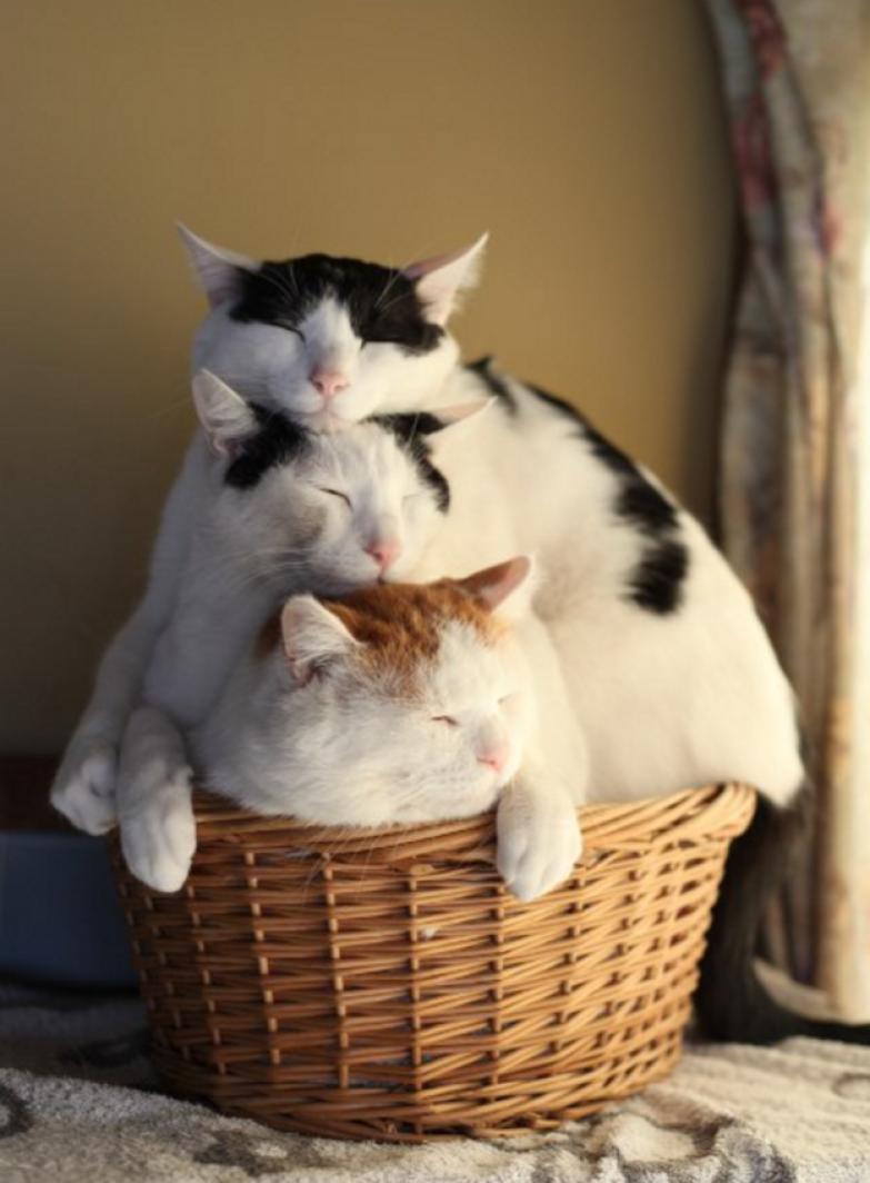 14. Как, впрочем, и другие кошки животные, коты