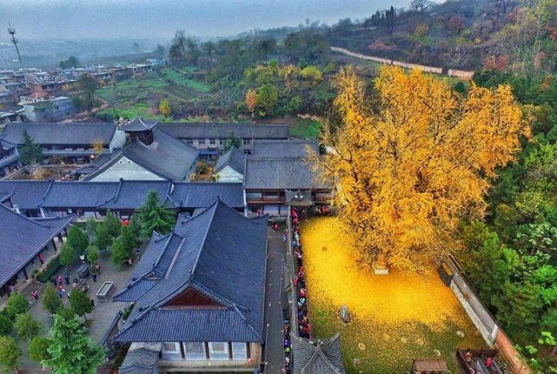 Золотое дерево. Этому дереву гинкго в китайском монастыре Гу Гуанинь - около 1400 лет искусство, мастерство, фото
