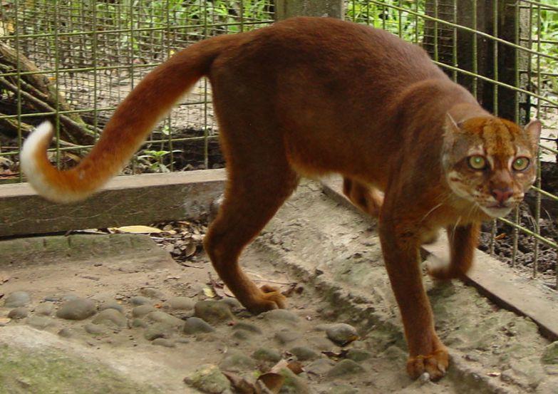 12. Калимантанская кошка животные, коты, породы