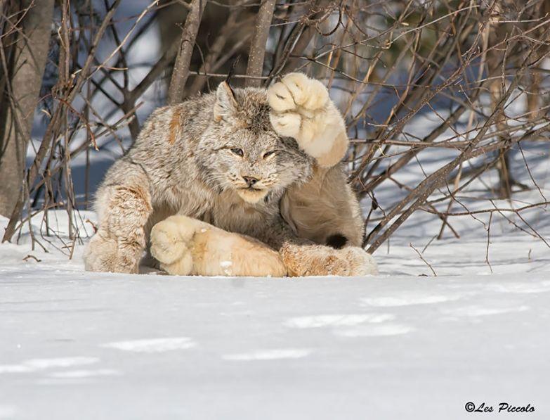 2. Канадская рысь животные, коты, породы