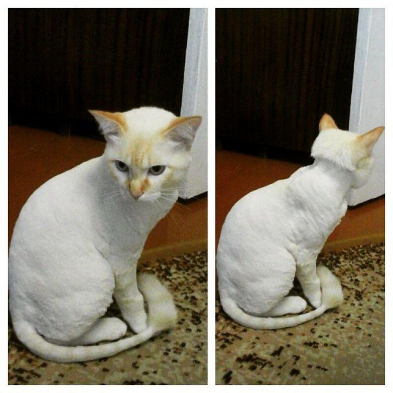 5. животные, котт, кошка, прическа, стрижка