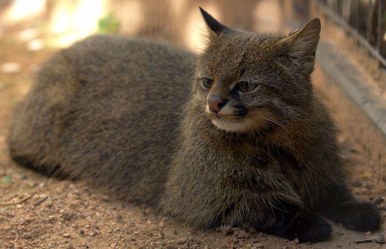 6. Пампасная кошка животные, коты, породы