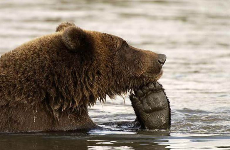 Медведи 18