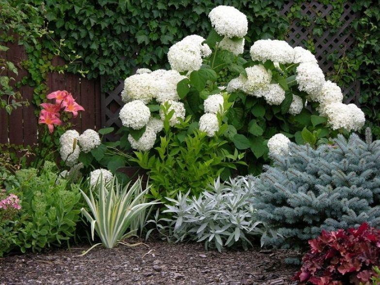 гортензия садовая морозостойкая