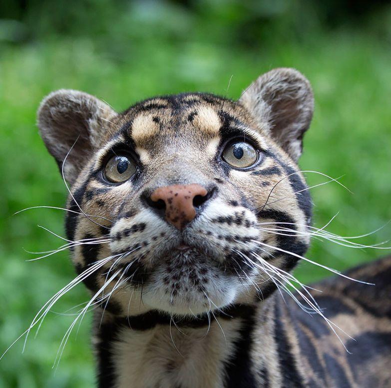 11. Дымчатый леопард животные, коты, породы