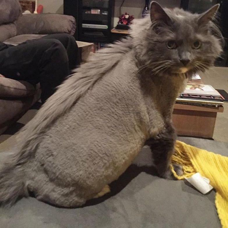 9. животные, котт, кошка, прическа, стрижка