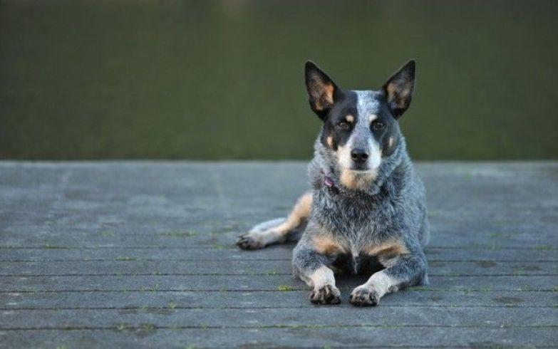 рейтинг собак по уровню интеллекта