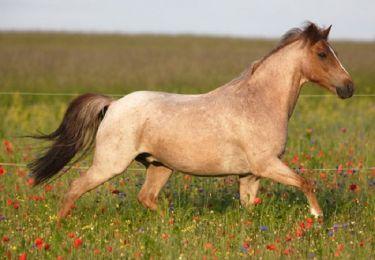 Голова по цвету соответствует голове обычной гнедой лошади.