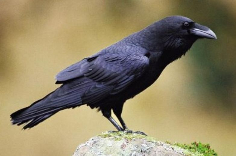 люди родившиеся под знаком ворона