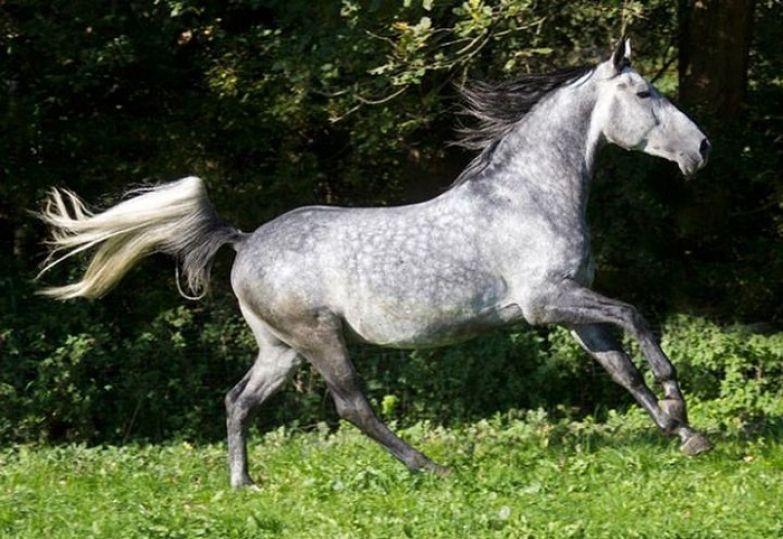 Чрезвычайно выносливая лошадь, особенно в пробегах более чем на 100 миль.