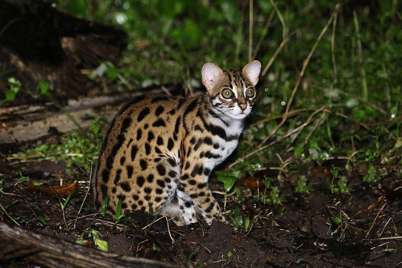 7. Леопардовая кошка животные, коты, породы
